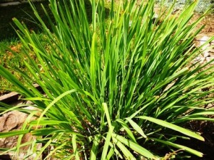 Lemongrass or citronelle is powerfully protective and used in natural and herbal medicine (www.africanepicure.com)
