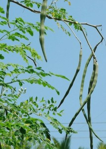 moringa leaves are an african superfood recipes and information (www.africanepicure.com)