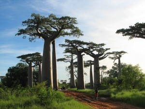 African baobab tree is a natural superfood (www.africanepicure.com)