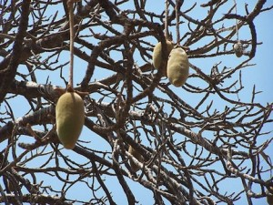 Baobab fruit is an African superfood and a natural health food (www.africanepicure.com)