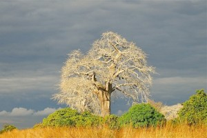 baobab oil is an african natural beauty secret (www.africanepicure.com)
