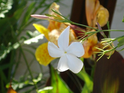 jasmine is an African botanical used in herbal preparations for the skin and hair (www.africanepicure.com)