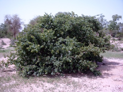 Kenkiliba or kenkeliba bushes are a natural African herbal remedy (www.africanepicure.com)
