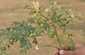 moringa leaves are an African superfood and easy to make in recipes (www.africanepicure.com)