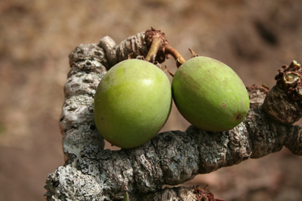 shea-butter-traditional-african-botanical