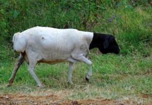 An African sheep, or mouton (Flickr: shizhao)