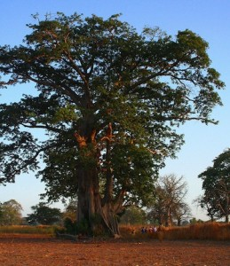 african trees are a useful and necessary part of the ecosystem and natural environment (www.africanepicure.com)