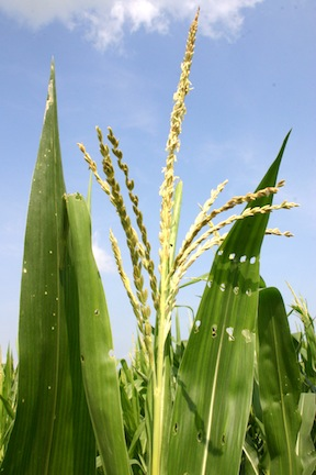 corn-maize-african-staple-foods-about-traditional-cooking-www.africanepicure.com