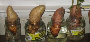 How to grow sweet potatoes in your African kitchen (www.africanepicure.com)